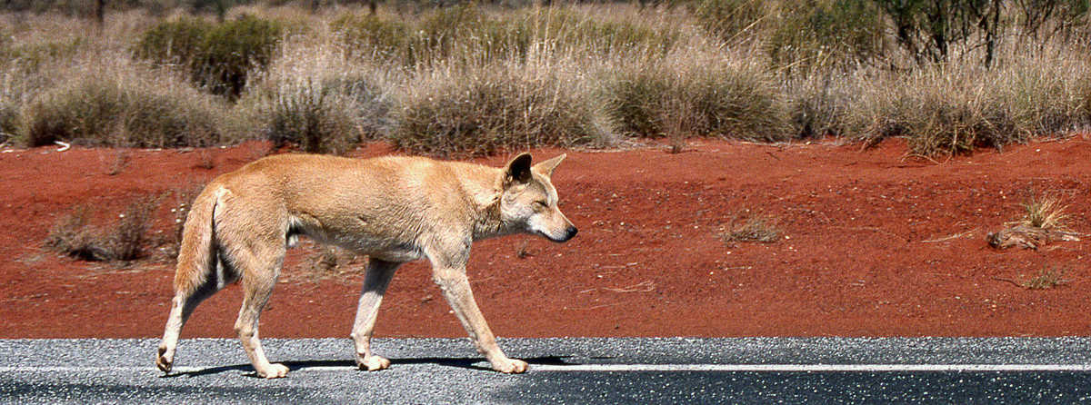 Are there dingos at Uluru?